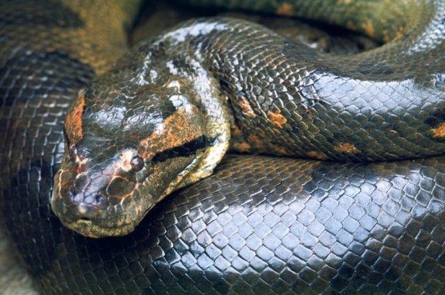 cobras na amazônia tudo sobre cobras