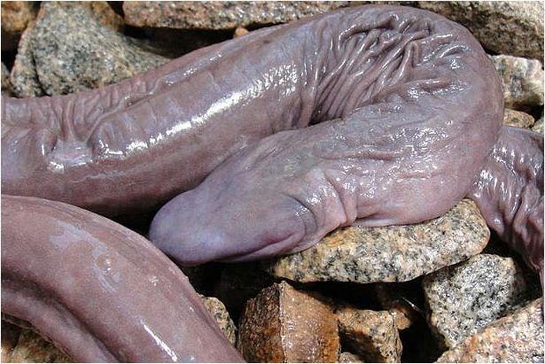 Cobra em formato de pênis é encontrada no Brasil