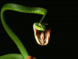 cobras comem seus filhotes