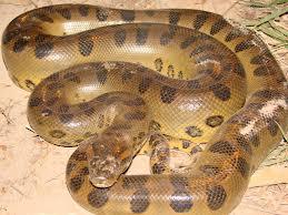 Anaconda existe
