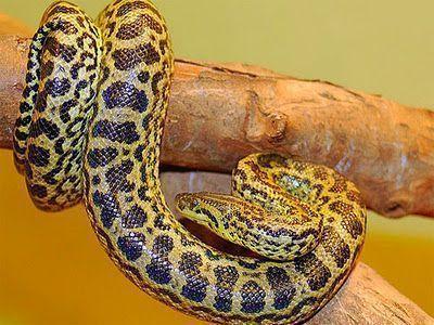 Cobra malhada