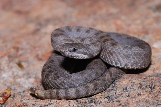Cobra Crotalus Pricei