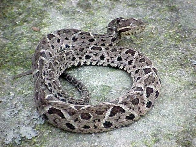 Cobra Jararacuçu