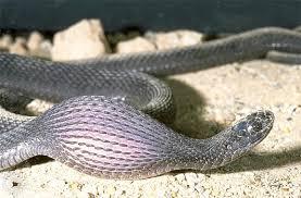 alimentação da cobra
