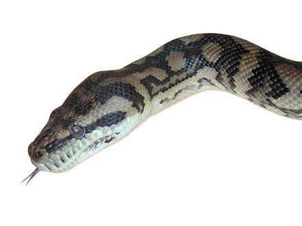 cobras cuspidoras