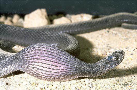 Como uma cobra come?