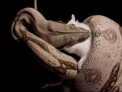 Como uma cobra come