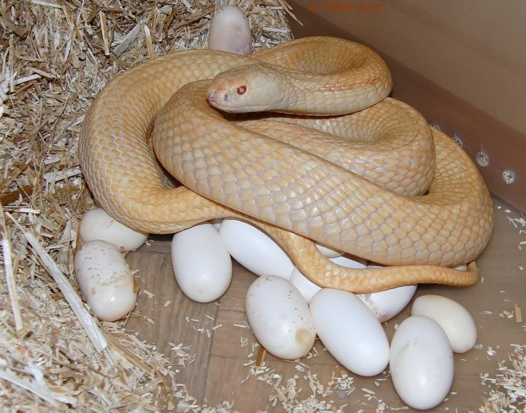 ovo de cobra