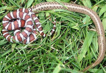 serpente do leite