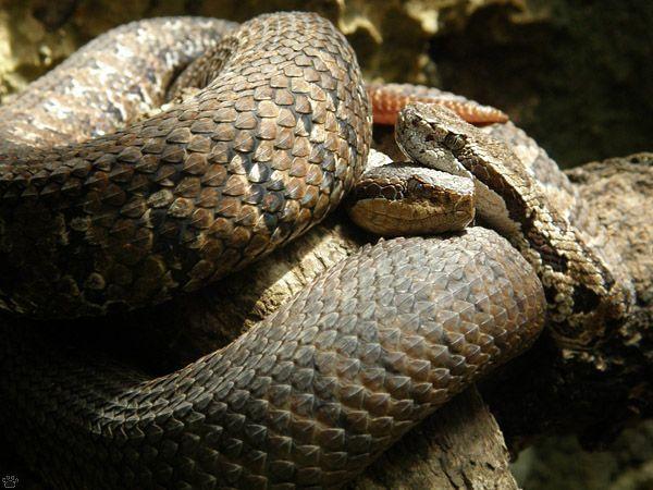 Cobra montanhosa sotsil pitviper
