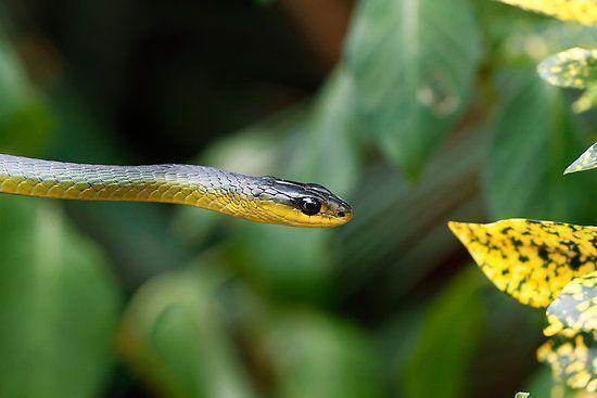 Cobra Dedrelaphis punctulata