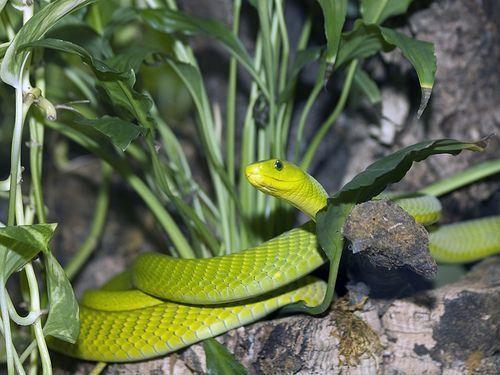 cobra Dendraspis angusticeps