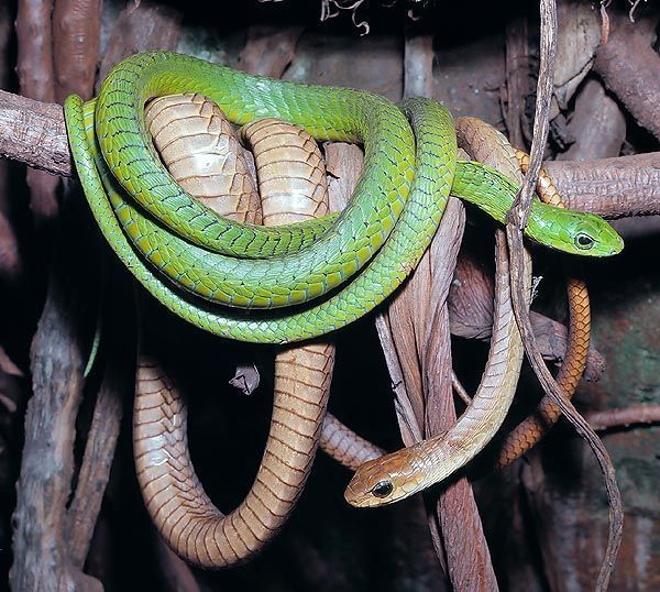 cobra Dispholidus typus