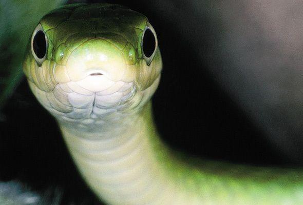 Por que as cobras vivem mostrando a língua