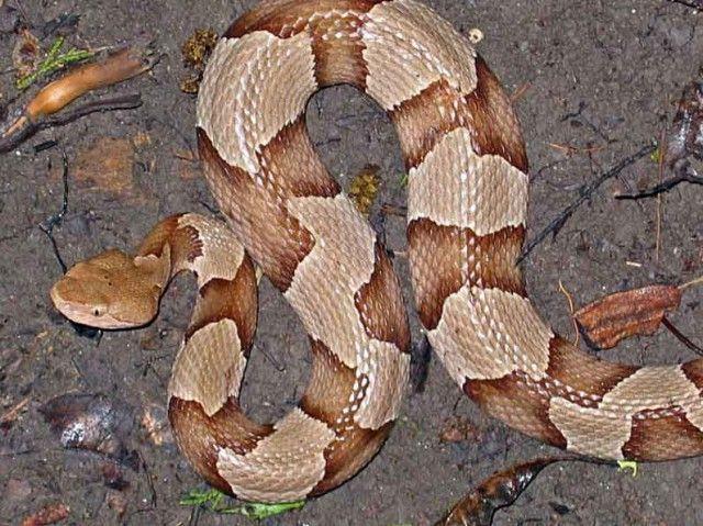 cobras copperheads