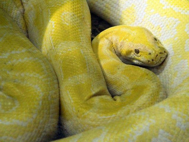 cobra amarela jiboia