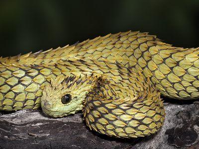 cobra atheris hispida