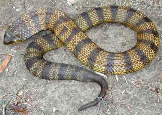Cobra krait malasiana