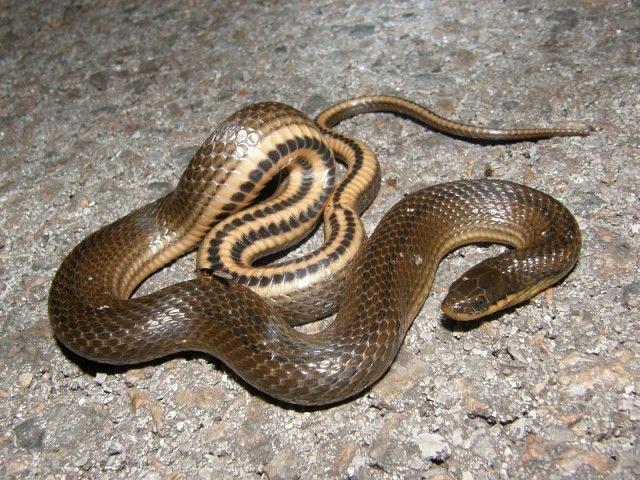 a origem das cobras
