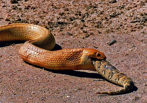 alimentação das cobra