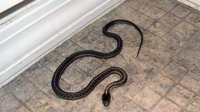 cobras como animais de estimação