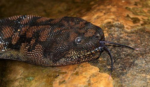 Cobra tromba de elefante