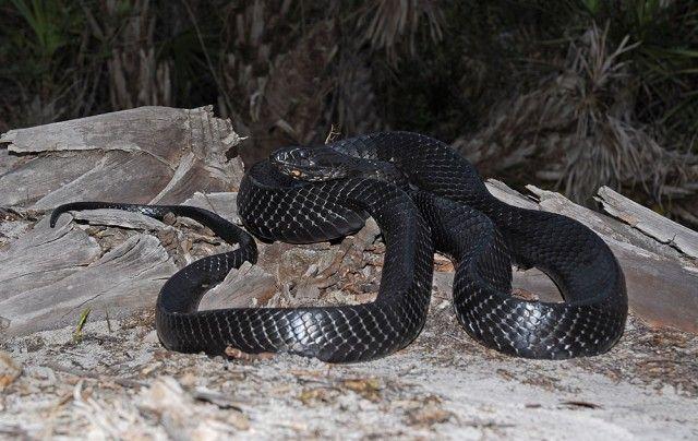 Cobra de indigo