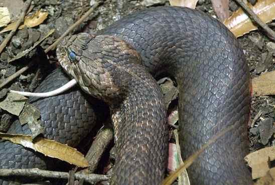 cobra adder