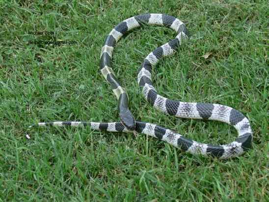 cobra krait